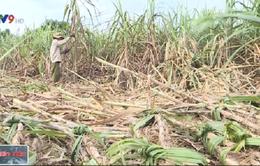 Mưa lũ dồn dập gây ảnh hưởng đến việc thu hoạch mía ở Nam Trung Bộ