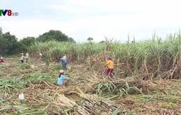 Chi phí cao, người trồng mía Khánh Hòa gặp khó