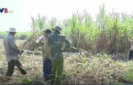 Khánh Hòa: Triển khai thu mua mía cho nông dân
