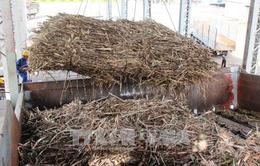 Tây Ninh: Gần 500 ha mía bị đốt cháy trước kỳ thu hoạch
