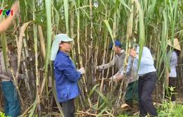 Liên kết các DN - Kỳ vọng tạo sức bật cho ngành mía đường