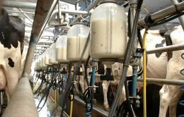 Tại sao giá sữa tại châu Âu lại quá rẻ?