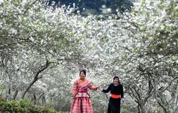 Đi du lịch Mộc Châu khi hoa mận nở trắng đồi