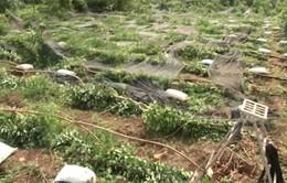 Mưa đầu mùa làm đổ 1.000 trụ tiêu ở Bình Phước