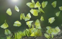 Hàng triệu bươm bướm bay rợp trời Tây Nguyên