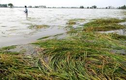 Nông dân mất trắng vụ Đông Xuân do mưa lớn bất thường