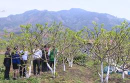 Lạng Sơn: Đăng ký sản xuất na theo tiêu chuẩn VietGAP