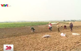Nông dân bức xúc vì lạc gieo không nảy mầm