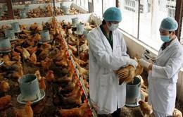 Cúm A/H5N1 bùng phát ở biên giới, Tây Ninh phòng dịch khẩn cấp