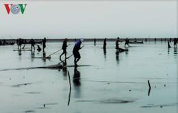 Cà Mau: Hàng trăm người đổ xô cào nghêu giống