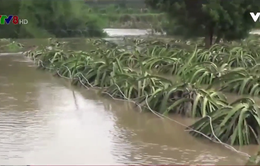 Bình Thuận: Nông nghiệp thiệt hại vì nước lũ dâng cao