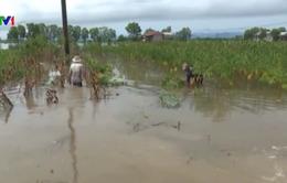 Bão số 4 gây thiệt hại lớn cho sản xuất nông nghiệp