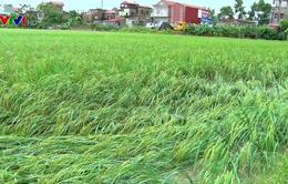 Mưa lớn, hơn 900 ha lúa ở Ninh Bình bị ngập úng