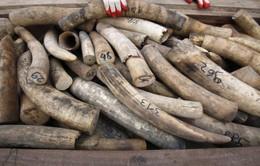 Malaysia thu giữ lượng lớn ngà voi