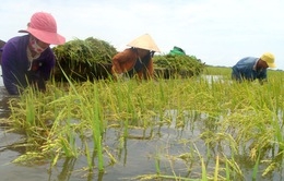 Bảo hiểm nông nghiệp: Vì sao nông dân không mặn mà?