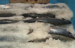 Ngư dân Hà Tĩnh được mùa đánh bắt hải sản