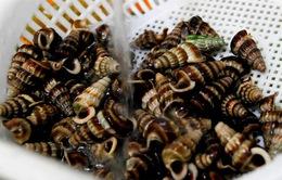 Ốc len - Đặc sản trong rừng đước Cà Mau