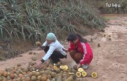 Vụ dứa chết ở Lào Cai: Nhà máy luyện kim vẫn lén lút hoạt động