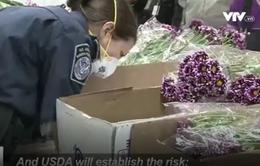 Mỹ kiểm tra hoa nhập khẩu phục vụ Valentine