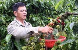 Brazil bất ngờ đình chỉ quyết định nhập khẩu cà phê Việt Nam