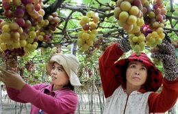 Nho, táo Ninh Thuận khan hiếm hàng