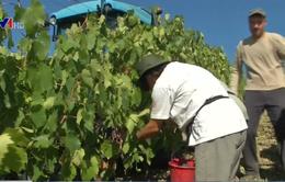 Italy hạn chế mở rộng diện tích trồng nho