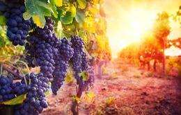 Sản lượng rượu vang châu Âu giảm mạnh do thời tiết