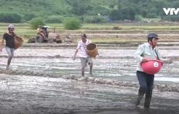 Nông dân Ninh Thuận không bỏ hoang đất ruộng sau mưa lũ
