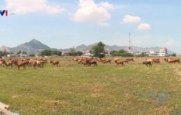 Nông dân Ninh Thuận không nên tăng đàn gia súc