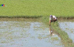 Phú Yên hỗ trợ nông dân thiệt hại vụ Đông Xuân