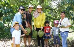 Du lịch miền Tây: Thưởng thức sầu riêng chín tại vườn