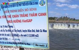 Nuôi tôm VietGAP: Hướng đi bền vững ở Cà Mau