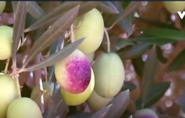 Morocco: Đầu tư mạnh vào ngành trồng và chế biến ô liu