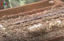 Lâm Đồng: Phát triển nghề nuôi ong lấy mật
