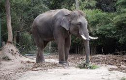 Thái Lan: Bị du khách kéo đuôi, voi giẫm tử vong hướng dẫn viên du lịch