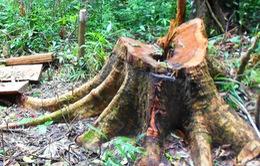 Khánh Hòa: Phát hiện vụ phá rừng phòng hộ qui mô lớn