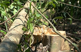 Phú Yên: Phá rừng tự nhiên lấy chỗ cho... dự án chăn nuôi bò