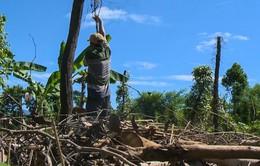 Nông dân Phú Yên phá tiêu để.. trồng chuối sau vụ mùa thất bát