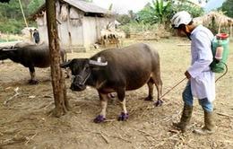 Phòng bệnh lở mồm long móng cho vật nuôi