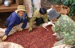 Đăk Lăk xuất khẩu 445 triệu USD niên vụ cà phê 2016 - 2017