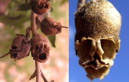 """Kỳ lạ loài hoa biến hình thành """"đầu lâu"""" khi héo tàn"""
