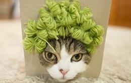 Chú mèo Maru nổi tiếng nhất thế giới lại khiến cư dân mạng 'đổ rạp' vì các kiểu tóc mới siêu dễ thương
