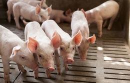 Lợn hơi mất giá kỷ lục, ngành nông nghiệp biết giải cứu từ đâu?