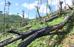 Phát hiện thêm 1 vụ phá rừng với quy mô lớn ở Quảng Nam