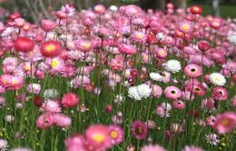 Hoa bất tử trên phố núi Đà Lạt - Câu chuyện tình yêu vĩnh hằng