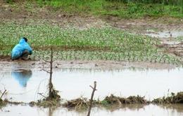 Nông dân Phú Yên loay hoay sau vụ hoa Tết thất bại