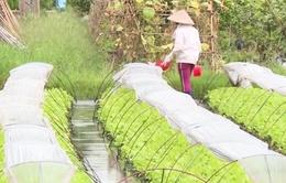 Những làng rau Hà Nội cho thu nhập... nửa tỷ đồng/ha