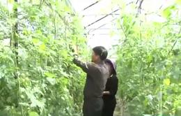 Lâm Đồng đưa mô hình VietGap vào Hợp tác xã