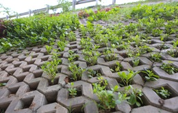 Người dân Hà Nội trồng rau sạch trong hộc bê tông bờ kè