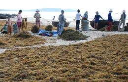 Chưa khai thác hết tiềm năng rong biển của Việt Nam